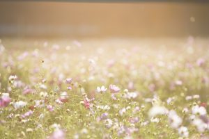 Canva - Pink and Purple Flower Field